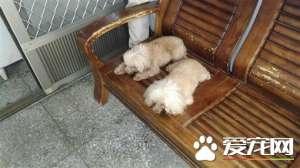 2只贵宾犬走丢 竟自己走到警局报案